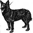 Psí plemena: Ovčáci a honáčtí psi > Chorvatský ovčák (Hrvatski Ovčar)
