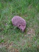 Psí plemena: Veterinární poradna > Co udělat pro nalezeného ježka? (Poraněná volně žijící zvířata)