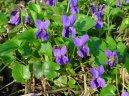 Fialka (violka) Vonná