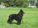 Psí plemena: Ovčáci a honáčtí psi > Belgický ovčák - Groenendael (Chien de Berger Belge - Groenendael)
