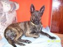 Ps� plemena:  > Holandsk� ov��k (Dutch Shepherd Dog)