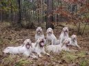 Italsk� spinone