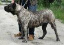 Psí plemena:  > Kanárská doga (Dogo Canario)