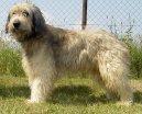 Psí plemena:  > Katalánský ovčák (Catalan Sheepdog)