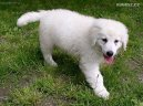 Psí plemena: Ovčáci a honáčtí psi > Kuvasz