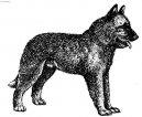Psí plemena: Ovčáci a honáčtí psi > Belgický ovčák - Laekenois (Chien de Berger Belge - Laekenois)