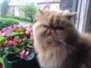 Perská kočka 9