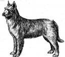 Psí plemena: Ovčáci a honáčtí psi > Pikardský ovčák (Berger de Picardie)