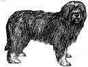 Psí plemena: Ovčáci a honáčtí psi > Portugalský ovčák (Cao de Serra de Aires)