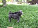 Psí plemena: Ovčáci a honáčtí psi > Pumi