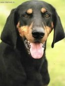 Ps� plemena:  > Rakousk� kr�tkosrst� honi� (Austrian Black and Tan Hound)