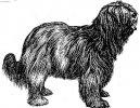 Psí plemena: Ovčáci a honáčtí psi > Holandský ovčácký pudl (Schapendoes)