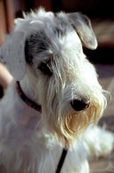 :  > Sealyham teriér (Sealyham Terrier)