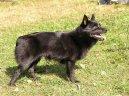 Psí plemena: Ovčáci a honáčtí psi > Šiperka (Schipperke)