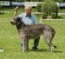 :  > Skotský jelení pes (Scottish Deerhound)