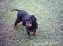:  > Skotsk� setr, Gordonsetr (Scotch Setter, Gordon Setter)