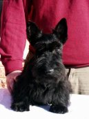 :  > Skotsk� teri�r (Scottish Terrier)