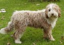 Ps� plemena: Sever�t� ta�n� psi > �pan�lsk� vodn� pes (Spanish Water Dog)