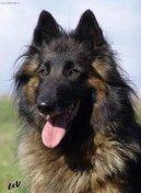 Psí plemena: Ovčáci a honáčtí psi > Belgický ovčák - Tervueren (Chien de Berger Belge - Tervueren)