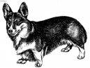 Psí plemena: Ovčáci a honáčtí psi > Welsh Corgi Pembroke (Pembrok Welsh Corgi)