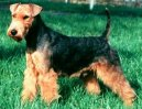 Ps� plemena:  > Welsh terier (Welsh Terrier)