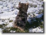 Fotoalbum na CelýSvět.cz: Merle yorkshire terrier from Inka Cibulkova