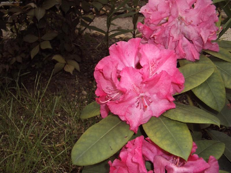 Foto: R�ovy-Pnouci rododendron