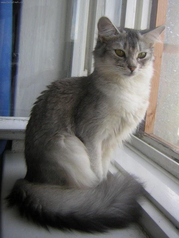 Somálská kočka