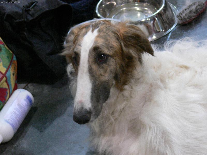 Foto: barzoj-výstava psů 2007 v praze