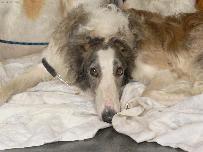 Foto: krasavec-výstava psů 2007 v praze