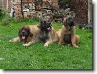 leonbergers Sedmidomky