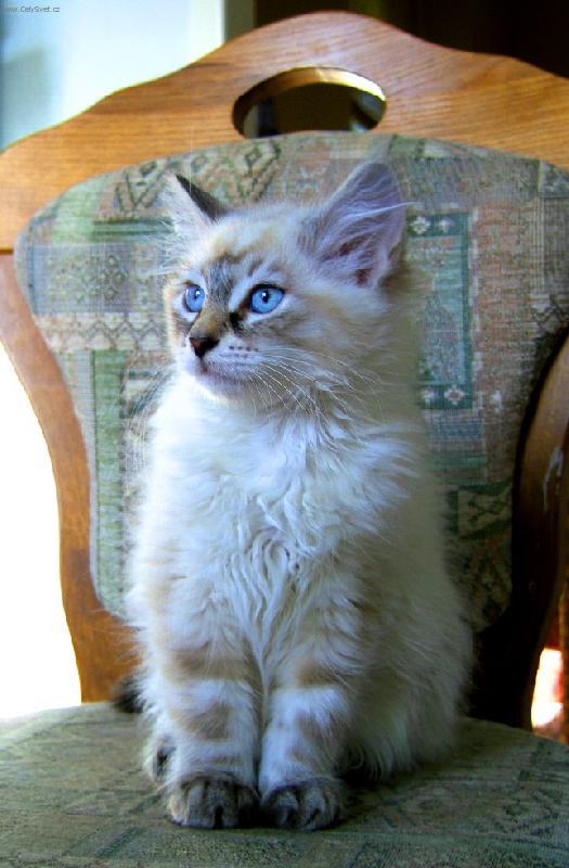 Něvská kočka, Maškaráda