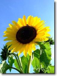 Fotosoutěž: Slunečnice