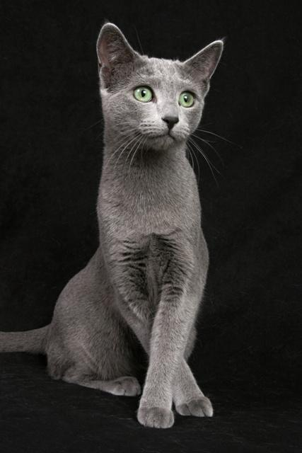 4b6747217 Chovatelská stanice koček: Ruská modrá kočka - RUSSO BELLO,CZ