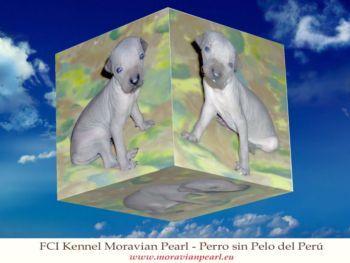 Chovatelská stanice psů: Peruánský naháč - MORAVIAN PEARL