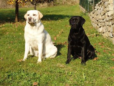 Labradorský retrívr chovatelská stanice