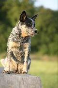 Australský honácký pes - zadáváme štěňátka
